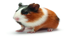"Guinea Pig  The Guinea Pig sometimes make a purring sound when he or she is happy.   They'll also ""rumblestrut""—a motion accompanied by rumbles or purrs to sound more intimidating.  A happy guinea pig may jump straight up and down. This movement is called"