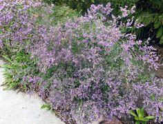 Limonium platyphyllum - statice - laialehine parkjuur