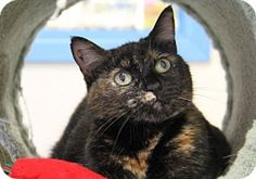 Portland, OR - Domestic Shorthair. Meet Butterfly, a cat for adoption. http://www.adoptapet.com/pet/14075809-portland-oregon-cat