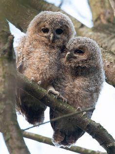 Fotograaf: Kasteelheertje. Laatste foto's op de Foto Community. Birds Of Prey, Wildlife, Owls, Babies, Beautiful, Animales, Diamond, Babys, Owl