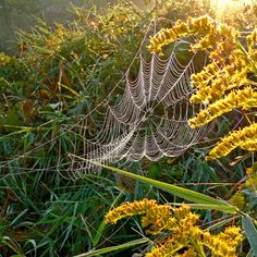 Would love to have been the one who saw this spider web in these Goldenrods. Very cool
