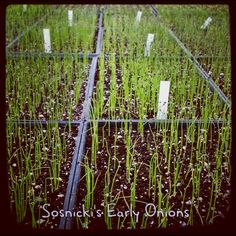 Our early Onions....how it all begins :)