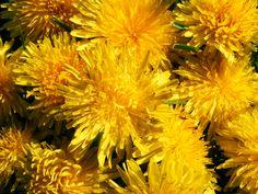 Dandelions - yellow wildflowers in Pennsylvania.
