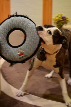 How to Train your Dog to Put their Own Toys Away -- Lady, Aspen, and Copper could all benefit from this.