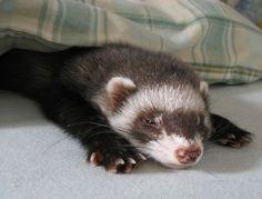 sleepy ferret *yawn*