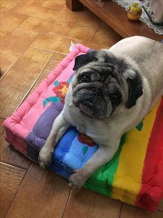 Pug, Animals, Animales, Animaux, Pugs, Animal, Animais, Pug Dogs, Chug Dog