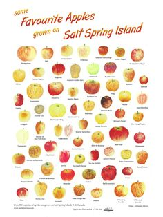 The 16th Annual Salt Spring Island Apple Festival Sunday, Oct 4th, 2015 Let the KID inside you escape!  Salt Spring Island, BC grows over 350 varieties of apples ORGANICALLY, with an apple history dating back to 1860.  Salt Spring Island is a small island (80 square miles) of 11,000 people in the Strait of Georgia between Victoria and Vancouver, BC, Canada.  We are accessed via BC Ferries routes to Fulford, Vesuvius and Long Harbour, and by float plane.