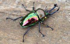 Mushi Mushi no Mi, Model: Rainbow Stag Beetle Weird Insects, Cool Insects, Bugs And Insects, Goliath Beetle, Beetle Tattoo, Pictures Of Insects, Insect Tattoo, Insect Photography, A Bug's Life