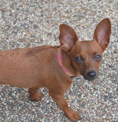Meet Lexi -- for adoption in Houston, TX -- Lexi Dog • Chihuahua & Dachshund Mix • Young • Female • Small Buster's Friends Houston, TX - contact BUSTER'S FRIENDS 6002 Dellfern Houston, TX 77056 for more information.