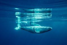 © Ben Thouard : A baby Humpback Whale from South Pacific, shot in Tahiti