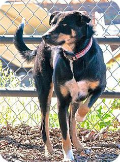 Red Bluff, CA - Border Collie Mix. Meet Stella a Dog for Adoption.