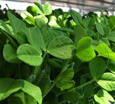 The Herb Gardener: How to Grow Herb Microgreens and Other Plants
