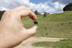 Playing with cattle. Pokolbin, Hunter Valley, NSW