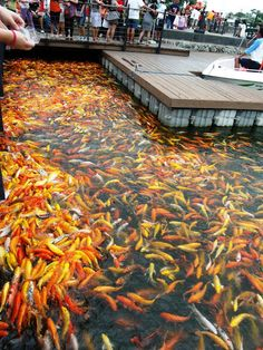 Traveling Morion | Let's explore 7107 Islands: PostCard Series| Large group of Koi in Nuvali