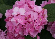 Penny Mac and Dooley Hydrangea. Shade tolerant. Blue or pink depending upon soil pH. Large, show stopping blooms during summer