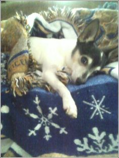 Toy Fox Terrier.  Bullet, my best buddy for 18 years.  RIP my little friend.