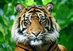 The primary meaning of the tiger spirit animal is willpower, personal strength and courage.