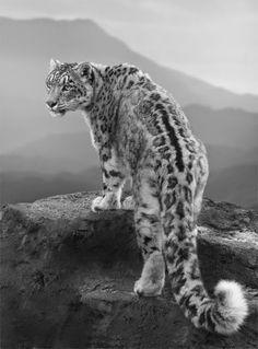 Beautiful Snow Leopard