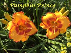 Pumpkin Prince photo by HappyGoDaylily