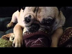 Pug Caught Sucking Blanket @Julie Chunn just like my two with their chewies!