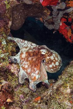 octopus| Go diving on Bonaire Book Villa Carina Bonair www.eegboulevardbonaire.com