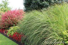 Kompozycje z trawami w roli głównej - strona 8 - Forum ogrodnicze - Ogrodowisko, Gracillimus, trzmielina oskrzydlona, hosta, begonie.