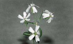 Sproutstanding!  30,000-year-old frozen seeds flower, with scientists' help.     Ice Age seeds frozen underneath layers of Siberian ice for more than 30,000 years have flowered again.    A team of Russian scientists is responsible for resurrecting the white flowers that sprung from the plant, Silene stenophylla. But they say that the crafty squirrel that buried the seeds in a riverbed during the Upper Pleistocene Age deserves thanks as well.