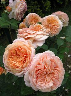 (klim)roos 'Leander'- syn. 'Lovely Apricot' - Austin (1982).