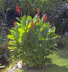 das Blumenrohr ein ungewöhnlicher Name für eine erstaunliche Pflanze !
