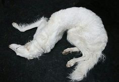 Saint of Lesbos Borzoi Dog, Animal Photography, Mammals, Art Reference, Dog Breeds, Beast, Cute Animals, Creatures, Puppies