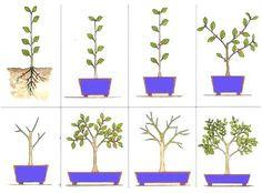 How to shape bonsai Terrarium Plants, Bonsai Plants, Bonsai Garden, Garden Plants, House Plants, Air Plants, Cactus Plants, Ficus Ginseng Bonsai, Bonsai Pruning
