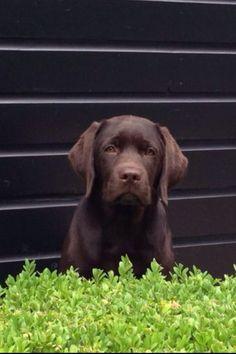 Bruine labradorpup Gijs,15 weekjes oud