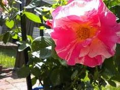 google image climbing roses
