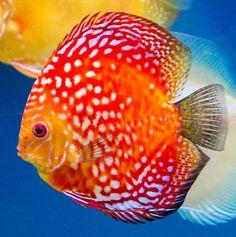 Discus Aquarium, Discus Fish, Betta Fish, Tropical Freshwater Fish, Freshwater Aquarium Fish, Tropical Fish, Acara Disco, Beautiful Sea Creatures, Salt Water Fish