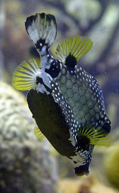 Trunk Fish by arie.eliens on Flickr*