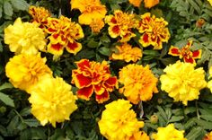"Annual marigolds ""Bonanza Series"" flowers provide bright colors, 8-14"" H, long-lasting blooms, medium water, full sun. Great to fill in under taller plants in containers."