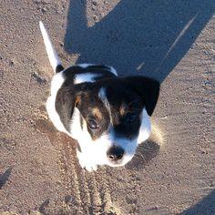 MEET WATSON - Say hello to the latest member of the Absolute Beach team! Beach Tops, Say Hello, Boston Terrier, Corgi, Puppies, Cute, Animals, Boston Terriers, Corgis