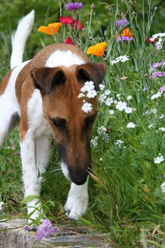 Smooth Haired Fox Terrier: