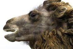 funky chewbacca camel.