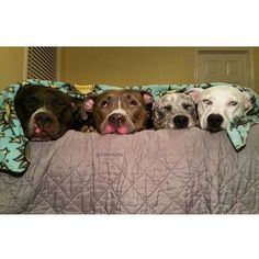 Pibble love!!! So much cuteness!