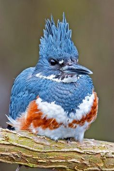 """Belted Kingfisher Female Gator-colored bird? Yes please @Sarah Chrisien  """"Put a bird on it."""""""
