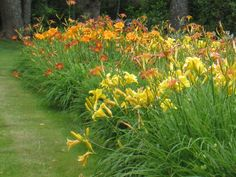 She loved daylilies ! She had so many in her yard.