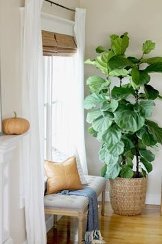 How I Saved My Fiddle Leaf Ficus Tree By Doing 6 Simple Things - House Plants - ideas of House Plants - How I Saved My Fig Tree by Doing 6 Simple Things Fig Leaf Tree, Fiddle Leaf Fig Tree, Fig Leaves, Fig Tree Plant, Best Indoor Plants, Outdoor Plants, Best Indoor Trees, Planet Decor, Ficus Lyrata