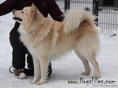 Sinisiklin Talviaamun Tovie, Finnish Lapphund whelped 2013