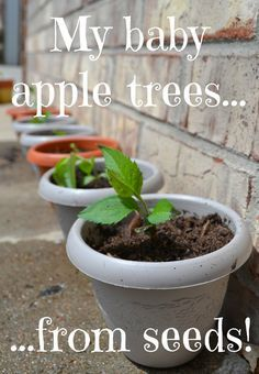 Save your seeds next time you eat an apple to grow your own apple tree!   My kids want to plant every seed they find, so when my daughter d...