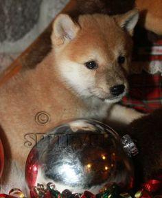 shiba... Shibu Inu, Shiba, Corgi, Cute Animals, Fox, Puppies, Pretty Animals, Corgis, Cubs