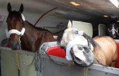 American Pharoah and Smokey on their way to Belmont Park on June 2. Photo: NYRA/Coglianese Photo