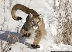 National geographic photo contest 2014 - Mountain Lion (puma or catamount or cougar) (Puma Concolor) running in snow near Bozeman, Montana, USA. Animals Of The World, Animals And Pets, Cute Animals, Wild Animals, Animals Photos, Jungle Animals, Funny Animals, Beautiful Cats, Animals Beautiful