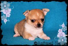 Animal Haus Chihuahuas!