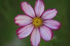 Cosmos Flower Blooms in October
